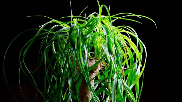 How do you revive a dying ponytail palm