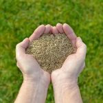 how to harvest grass seed