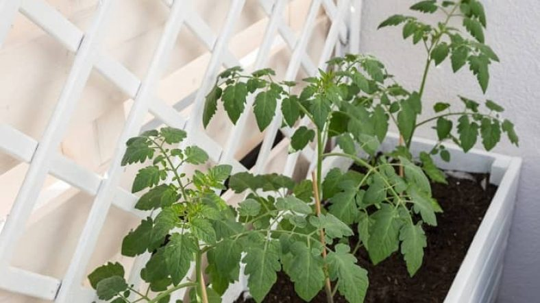 How Many Tomato Plants In A 4x4 Raised Bed
