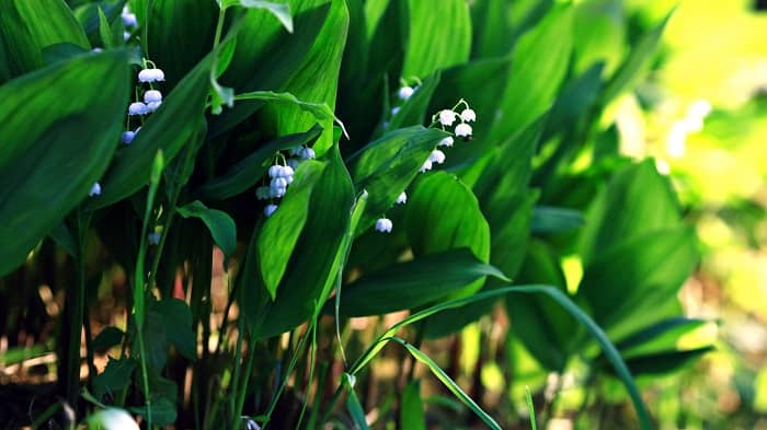 How to get rid of Lily of the Valley