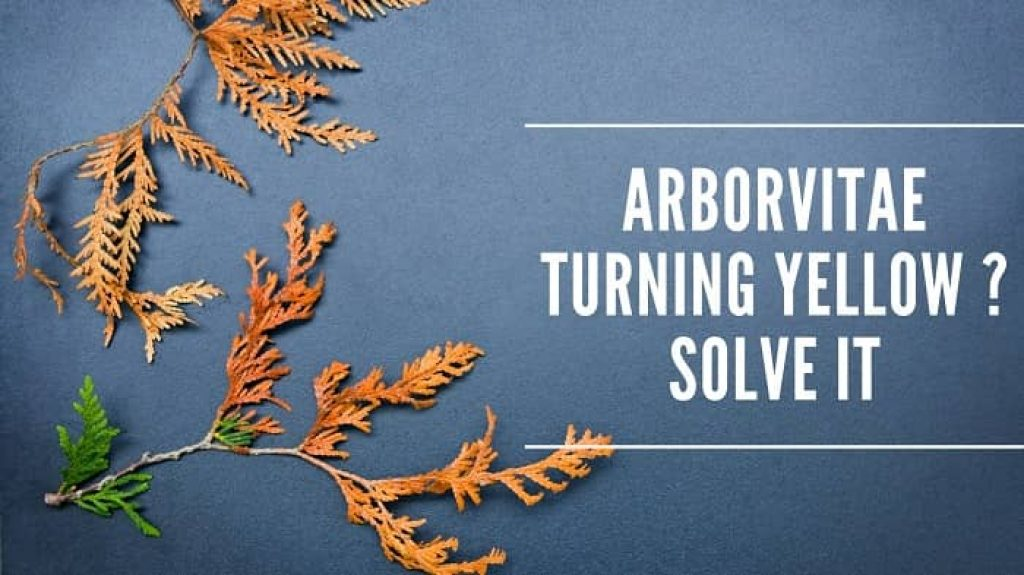 Arborvitae Turning Yellow