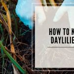 How To Kill Daylilies