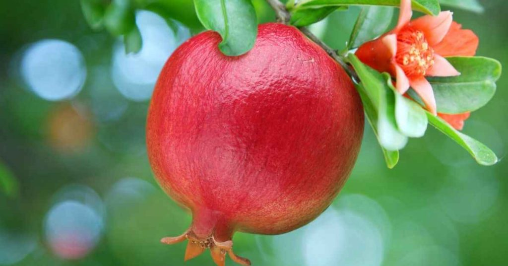 best fertilizer for pomegranate tree