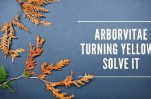 Arborvitae Turning Yellow- Why & How To Solve It?