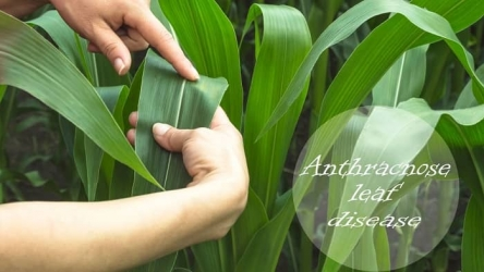 Best Fungicide for Anthracnose: The Complete Solution