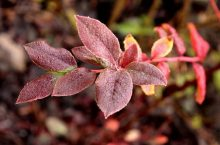 Blueberries Leaves Turning Red?- Here's What To Do