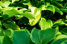 Hosta Leaves Turning Yellow – What To Do?