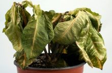 How do You Revive a Dying Rubber Plant: 4 Simple Methods