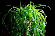 How do you revive a dying ponytail palm?- The Complete Guide