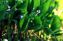 How to get rid of Lily of the Valley : Organic & Chemical Method