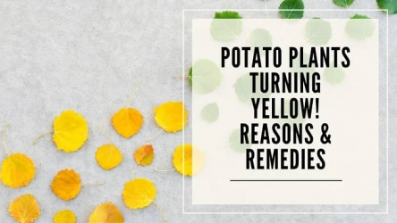 Potato Plants Turning Yellow- Reasons & Remedies