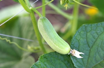 Why Are My Cucumbers White?- Reasons With Remedies