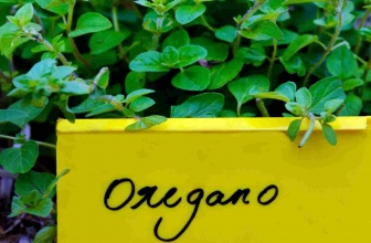 Black Spots on Oregano Leaves: Reasons and Remedy