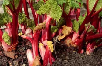 Rhubarb Leaves Turning Yellow: Explanation and Remedy
